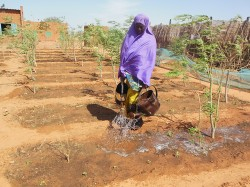 Gonzare woman watering freshly replanted hot pepper
